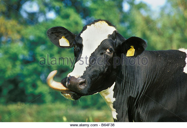 Holland, The Netherlands, Graveland. Cow. - Stock Image