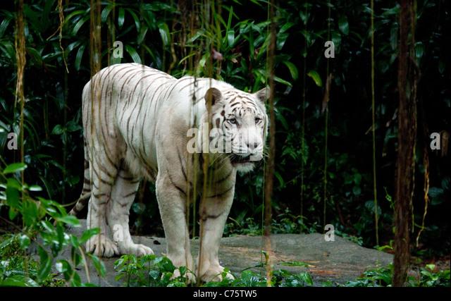 A white tiger standing (Panthera Tigris) in Singapore Zoo, Singapore, Asia - Stock Image