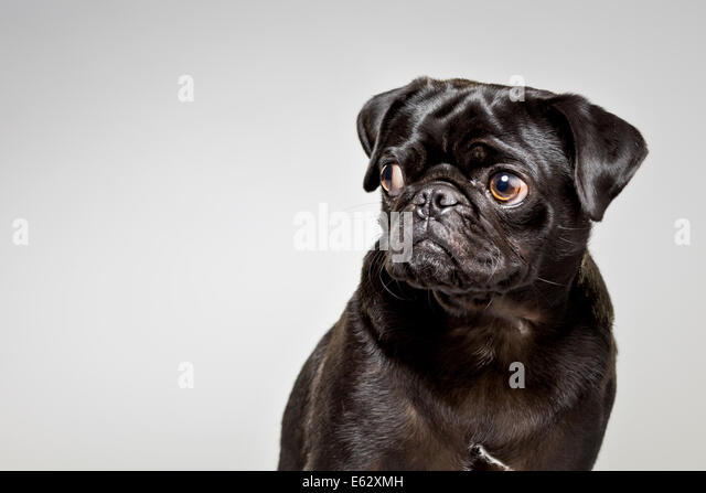 Black pug looking suspiciously out of corner of eyes - Stock Image