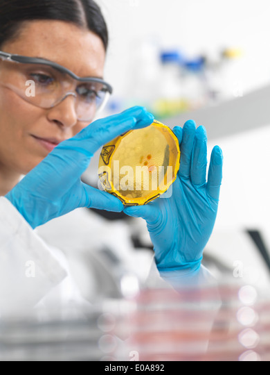 Close up of female scientist viewing cultures growing in petri dishes with a biohazard tape on in a microbiology - Stock-Bilder