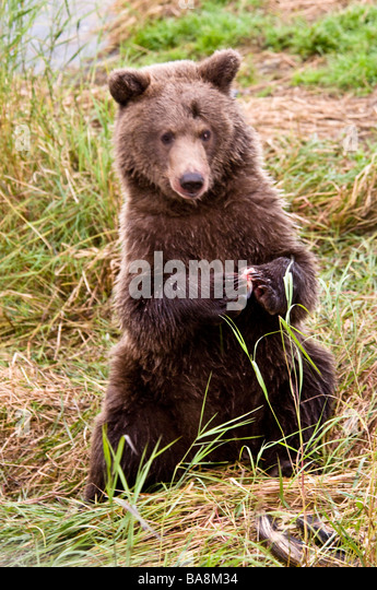 Grizzly bear sitting up - photo#38