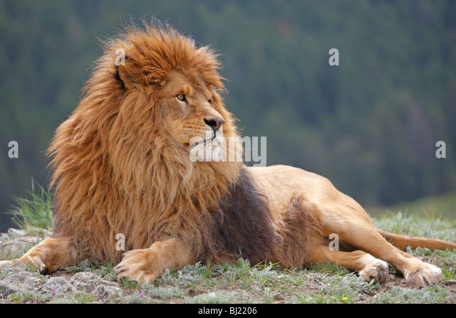 Barbary Lion (Panthera leo leo), lying male. - Stock Image