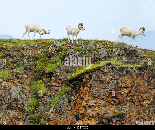 Dall Sheep (Ovis dalli), Polychrome Pass, Denali National Park & Preserve, Alaska, USA - Stock Image