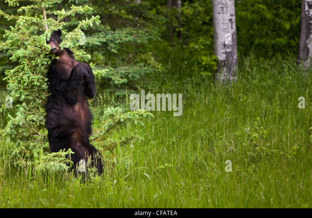 Adult female Black bear (Ursus americanus) scratching its back on a tree in Riding Mountain National Park, Manitoba, - Stock-Bilder