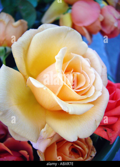 Still Life of a Bunch of Roses Viewed From Above - Stock Image