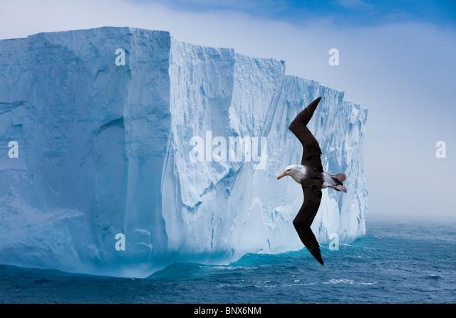 Black-browed albatross flying past iceberg, Antarctica - Stock-Bilder