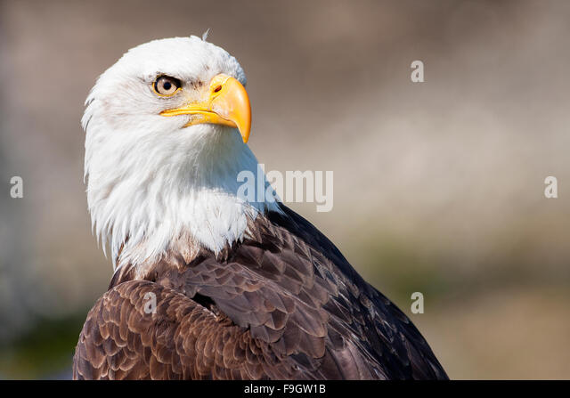 Portrait of a bald eagle in Vancouver, Canada - Stock Image