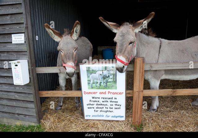 Two rescued donkeys at Hillside Animal Sanctuary, West Runton, Norfolk - Stock Image
