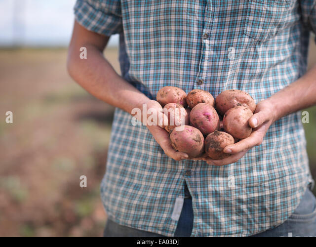 Farmer holding crop of organic potatoes, close up - Stock Image