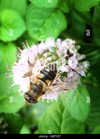 Bee on mint flower - Stock Image