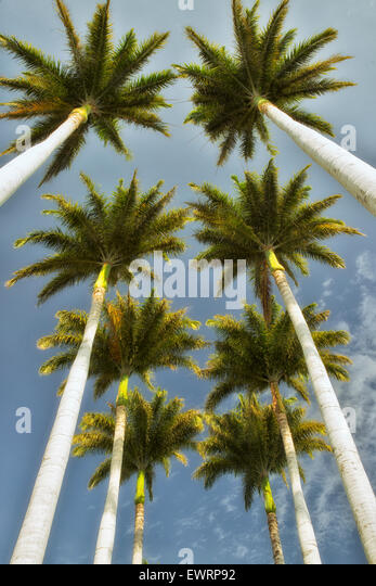 Looking up through palm trees. Hawaii, The Big Island - Stock Image