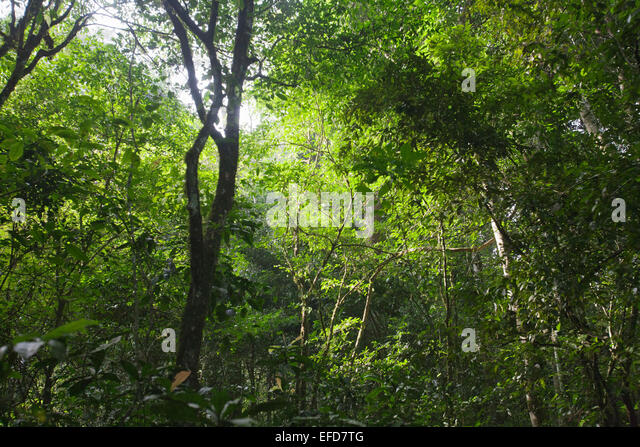 View up to rainforest canopy. Semi-deciduous tropical rainforest, Budongo Forest Reserve, Uganda  January 2011 - Stock Image