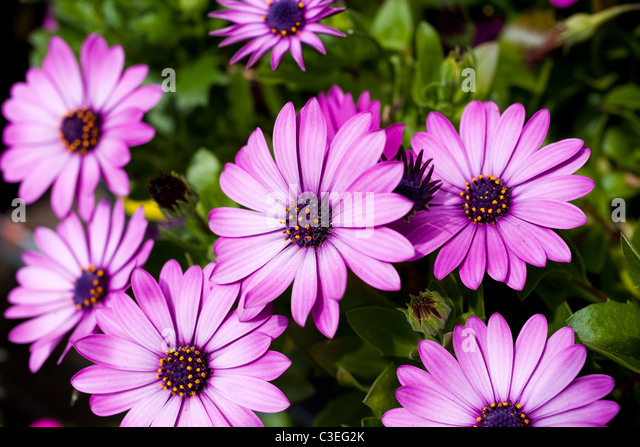 Purple Daisy close up shot - Stock Image