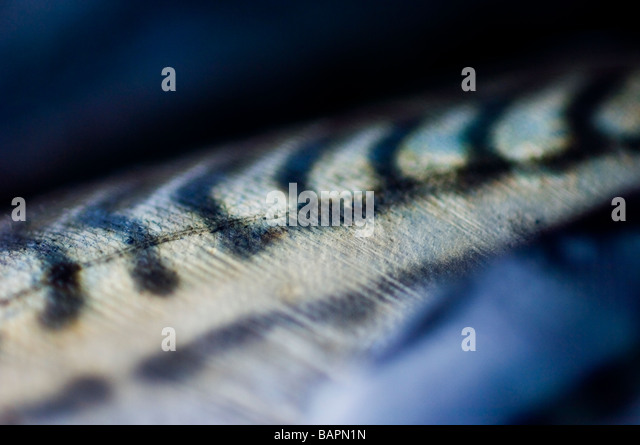 Scomber scombrus. Mackerel scales, close-up - Stock Image