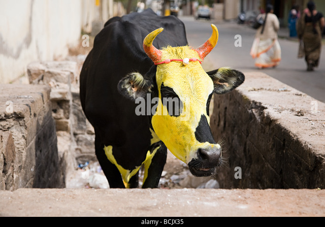 Cow painted yellow for pongal festival - Stock-Bilder