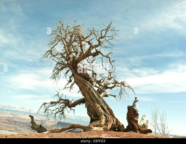 USA, Utah, Ancient tree at top of canyon in Dead Horse Point State Park - Stock-Bilder