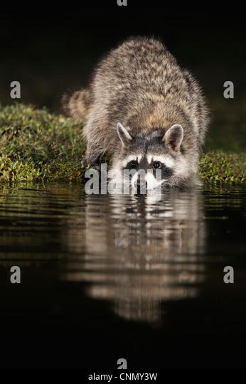 Northern Raccoon (Procyon lotor), adult at night drinking at pond, Dinero, Lake Corpus Christi, South Texas, USA - Stock Image
