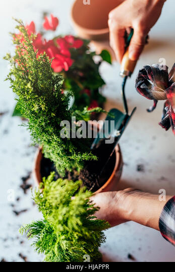 Woman's hands transplanting plant a into a new pot. - Stock Image