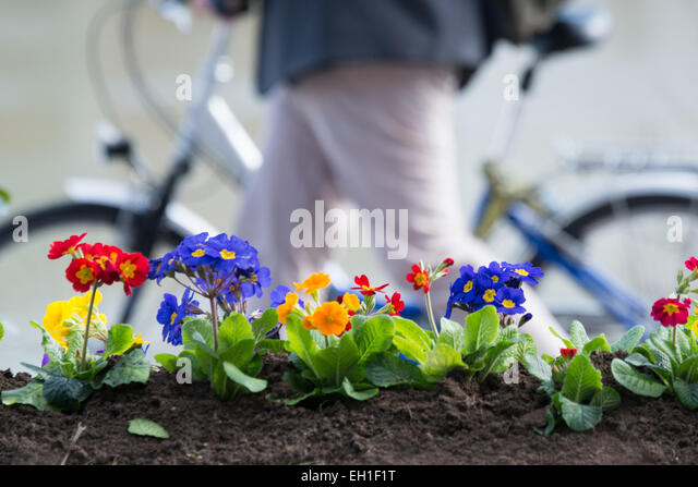 Passau, Germany. 3rd Mar, 2015. A cyclist walks past planted primroses along the embankment of the River Inn in - Stock-Bilder