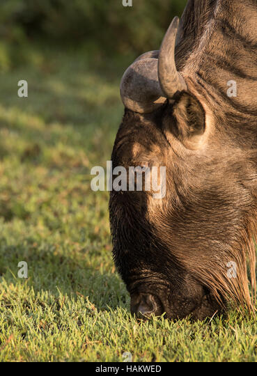 Portrait of White-bearded Wildebeest eating grass - Stock Image