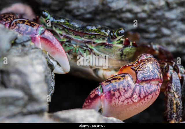 Focus on claws of green crab with face in background - Stock Image