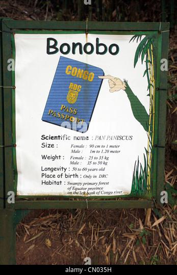 Information on the bonobo's at the Lola Ya bonobo sanctuary just outside of Kinshasa in the DRC, Central Africa - Stock-Bilder
