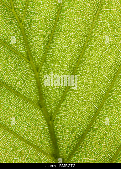 Beech leaf, Fagus sylvatica. Backlit to show veins. - Stock Image