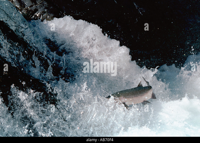 Salmon tries making its way up Salmon Cascades Falls Sol Duc River Olympic National Park COPYRIGHT DUANE BURLESON - Stock Image