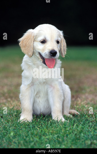 Trainee guide dog puppy, UK. - Stock Image