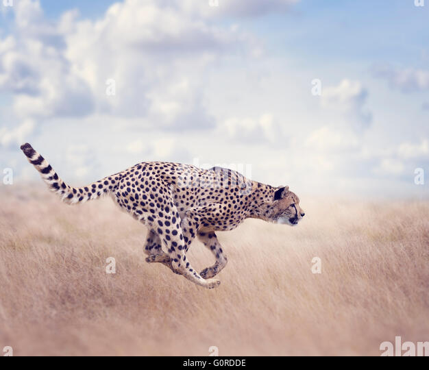 Cheetah  Running in The Grassland - Stock Image