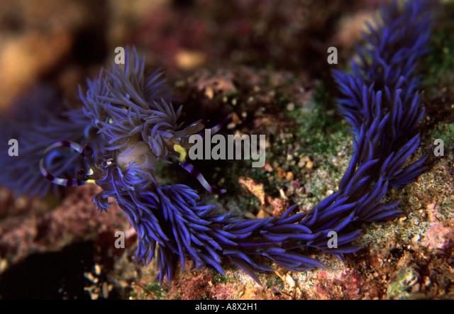 Mating Pteraeolidia ianthina - Stock Image