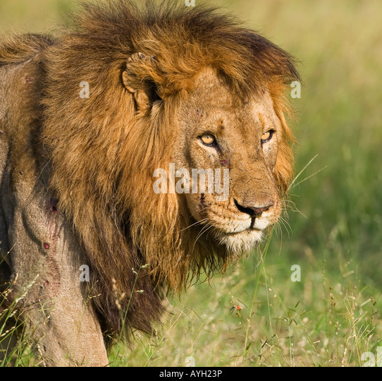 Close up of male lion, Greater Kruger National Park, South Africa - Stock Image