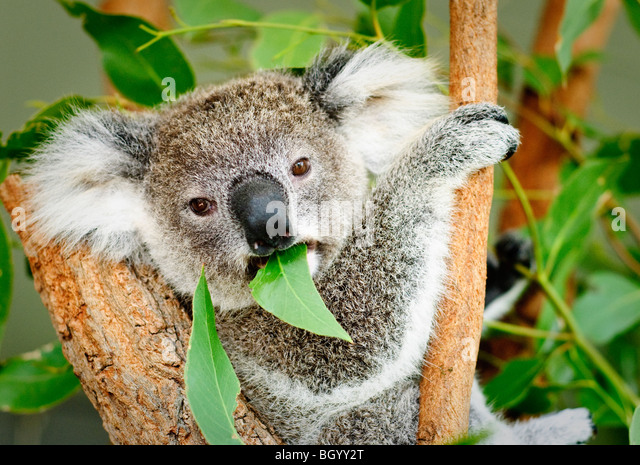 A koala sitting in a tree eating a gum leaf and looking directly at the camera. - Stock-Bilder