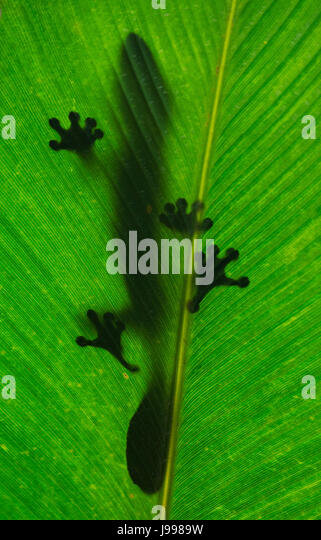 Leaf-tailed gecko is sitting on a large green leaf. Silhouette. unusual perspective. Madagascar. An excellent illustration. - Stock Image