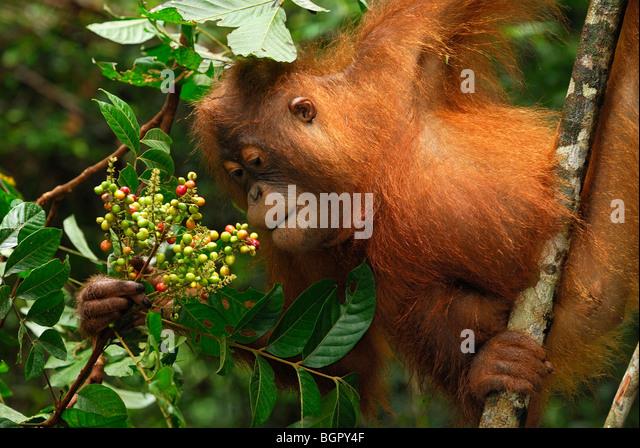 Borneo Orangutan (Pongo pygmaeus), eating fruits, Camp Leaky, Tanjung Puting National Park, Kalimantan, Borneo, - Stock Image