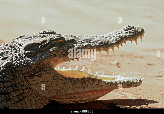 Nile crocodile Crocodylus niloticus loses heat as it rests with its jaws agape - Stock Image
