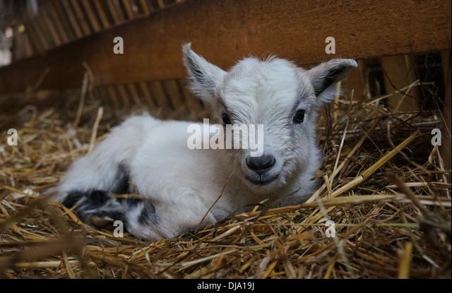 Baby Goat - Stock Image