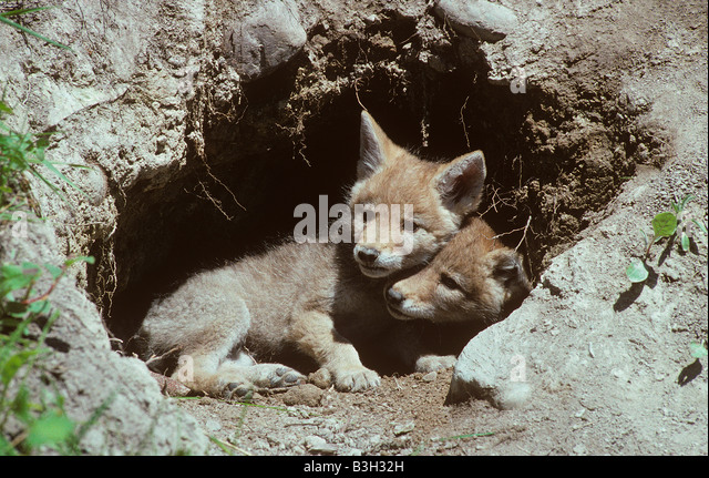 Coyote cubs Canis latrans playing at den entrance Montana USA - Stock Image