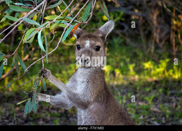 Grey Kangaroo Eating Leaves, Australia - Stock Image