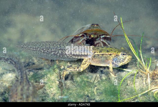 European edible frog and tadpole shrimp, freshwater tadpole shrimp ...