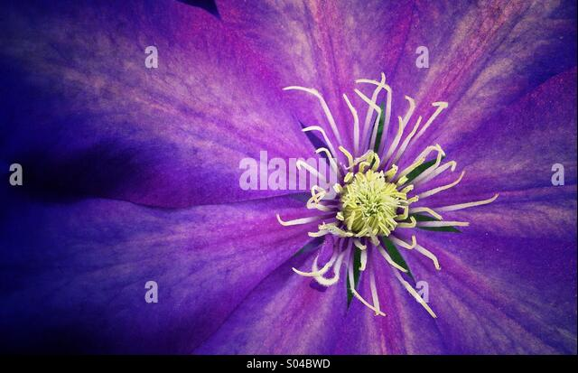 Purple clematis - Stock Image