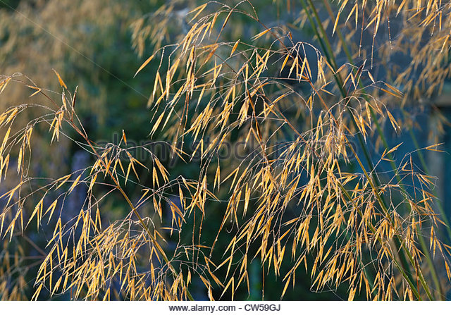 Giant feather grass stock photos giant feather grass for Giant ornamental grass