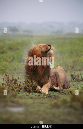 lion (Panthera leo), male lion shaking water off its rain-wet head, Tanzania, Serengeti National Park - Stock Image