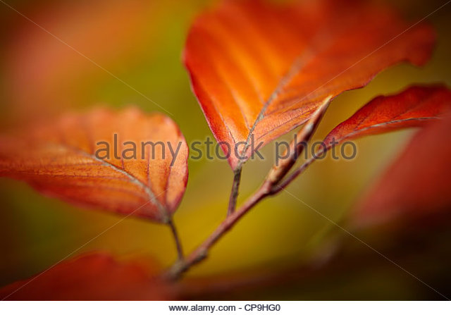 autumn,autumn leaves,beauty in nature,branch,change,close up,color image,colorful,day,detail,horizontal,leaf,nature,no - Stock Image
