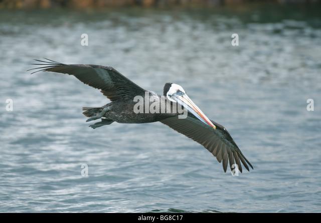 Peruvian Pelican (Pelecanus thagus) In Flight, Pucusana , Peru - Stock Image