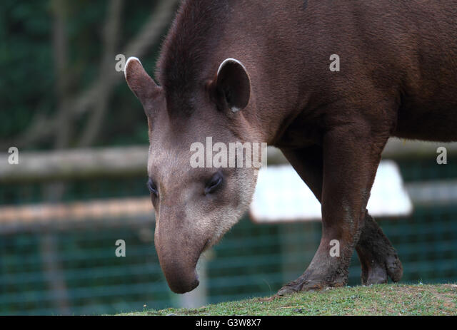 South American Tapir (Tapirus terrestris) - Stock Image