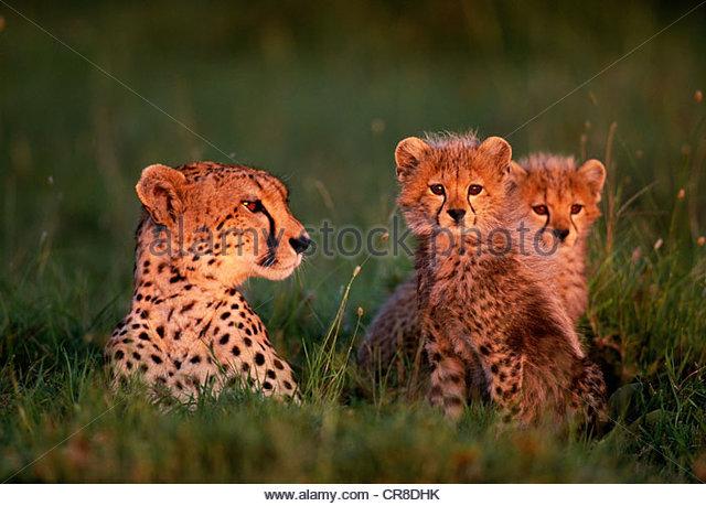 Cheetah & cubs, Kenya - Stock Image