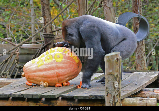 N'dowe Gorilla Bewitched Stock Photos...