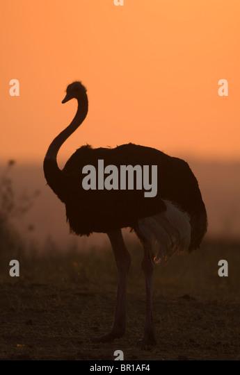Ostrich (Struthio camelus), Tarangire National Park, Tanzania - Stock-Bilder