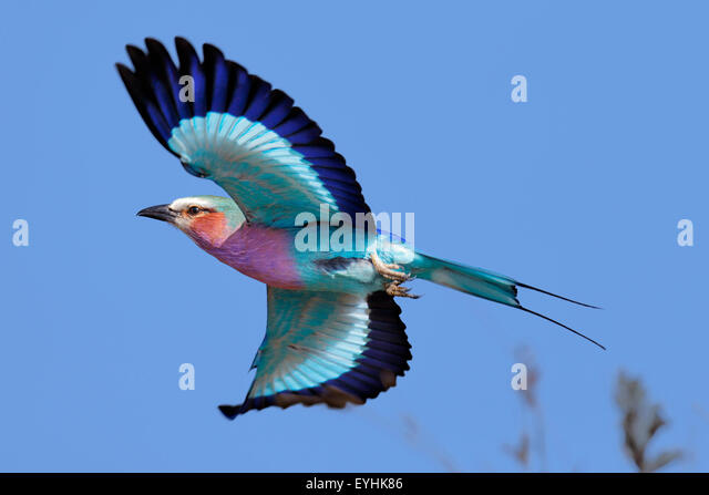 Lilac-breasted Roller (Coracias caudatus) taking flight against clear blue sky - Kruger National Park (South Africa) - Stock Image